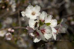 Januar - Mandelblüte auf Teneriffa