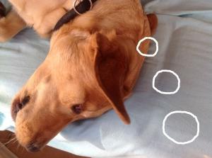 Hund denkt