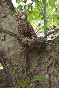 dänischer Leopard - sucht Zuflucht vor dem Regen auf dem Baum