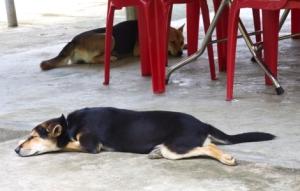 Vietnamesische Hunde beim Mittagsschlaf