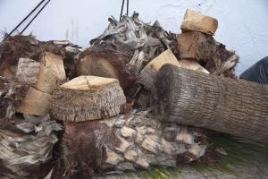 nach dem Sturm: zersägte Palmen