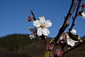 Mndelbaumblüte