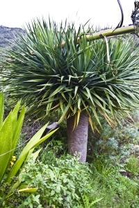 Wilder Drachenbaum
