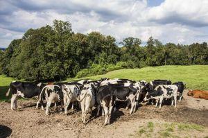 die Kühe ignorieren uns und zeigen ihre Rückseite