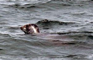Seehund im Aalborger Hafen