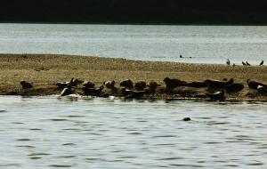 Seehunde in der Mitte des Limfjordes bei Loekstoer