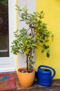 Orangenbäumchen