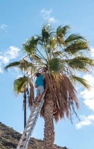 """Palmenfriseur"" bei der Arbeit"