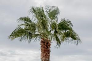 Palmenwedel im Wind