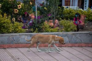 Viele streunende Hunde in Ráquira