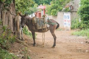 Palenque - Esel wartet auf der Straße
