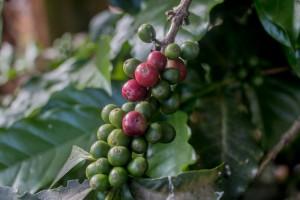Kaffee grün und rot