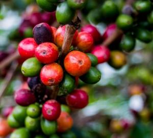 Rote Kaffeebohnen