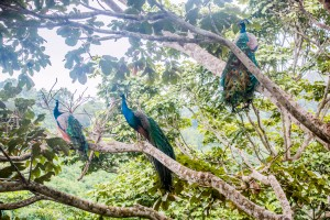 Taironaka Park - Pfauen im Baum