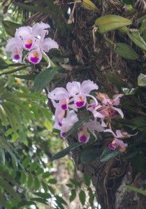 San Augustin - Orchidee - Nationalblume Kolumbiens