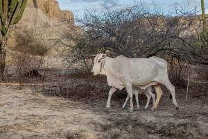 Tatacoa Wüste - Zebu mit Kalb