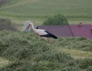 Storch auf der abgemähten Wiese