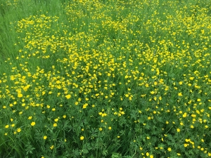 Grüne Wiese - gelbe Blumen