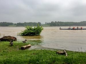 Rheinufer überschwemmt mit Enten