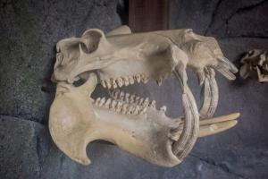 Nilpferd Schädel