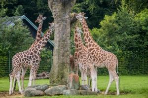 Giraffen fressen und suchen Regenschutz unter den großen Savannenbäumen