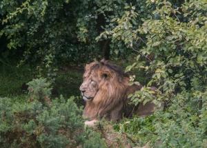 Der Löwe ruht unter Büschen (Regenschutz)