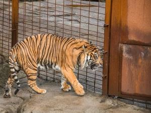 Tiger mit Zoorost