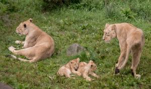 Löwinnen mit ihren Jungen