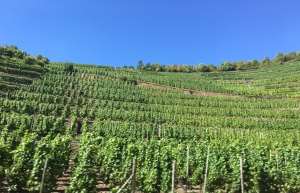 Weinfelder im Ahrtal